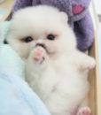 Finn – Pomeranian