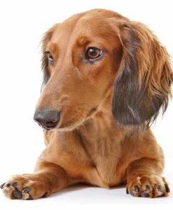 Long-Haired Dachshund